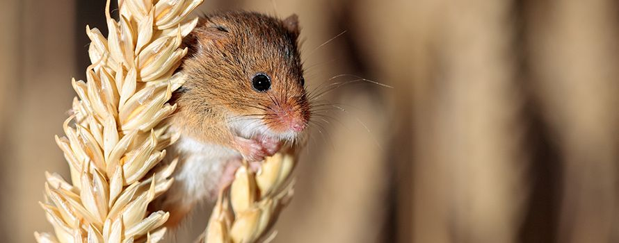 Mouse eating grain